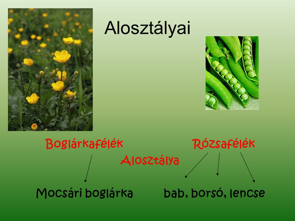Boglárkafélék Rózsafélék Mocsári boglárka bab, borsó, lencse