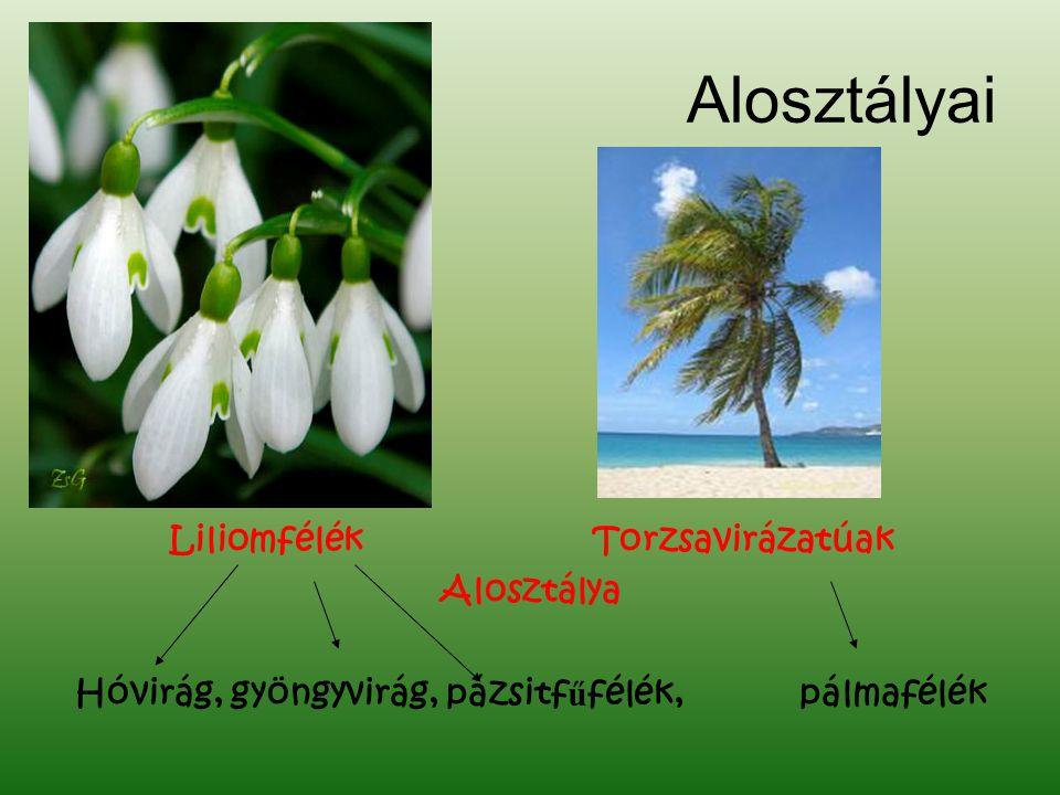 Alosztályai Liliomfélék Torzsavirázatúak Alosztálya