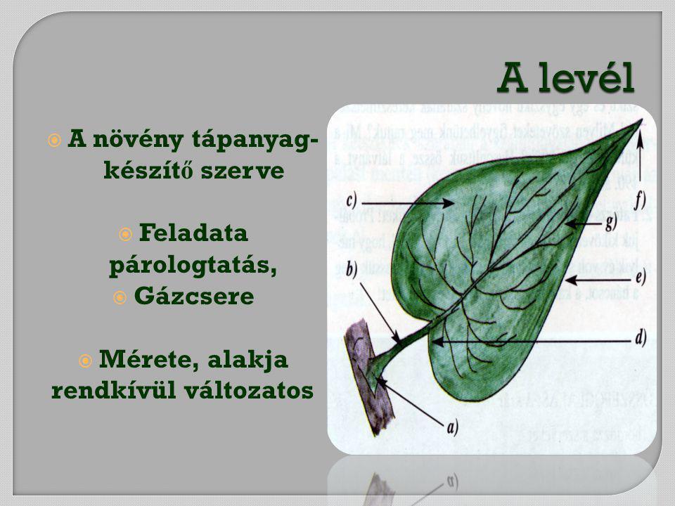 A növény tápanyag-készítő szerve Feladata párologtatás,