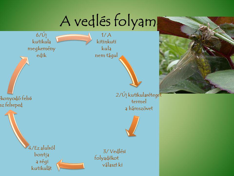A vedlés folyamata 1/ A kitinkuti kula nem tágul 2/Új kutikularéteget