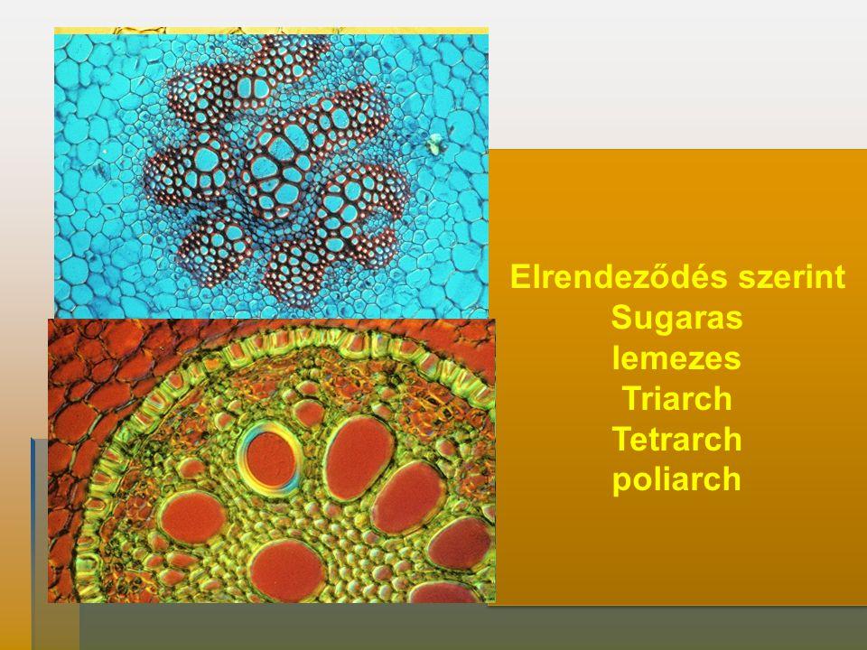 Nyalábtípusok Elrendeződés szerint Sugaras lemezes Triarch Tetrarch