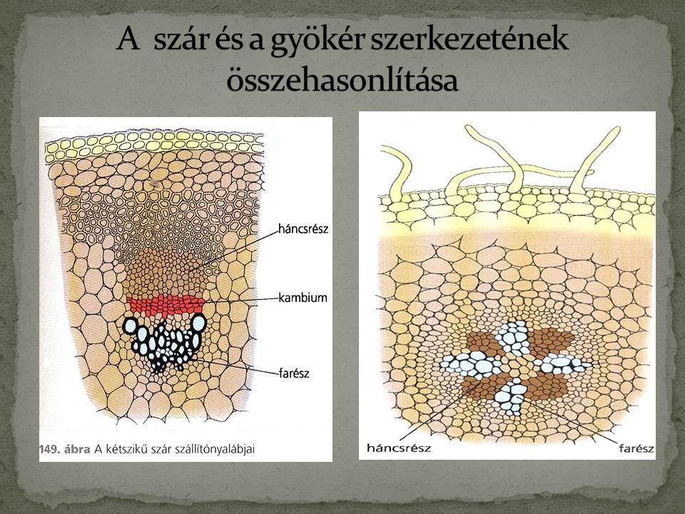 A szár és a gyökér szerkezetének összehasonlítása