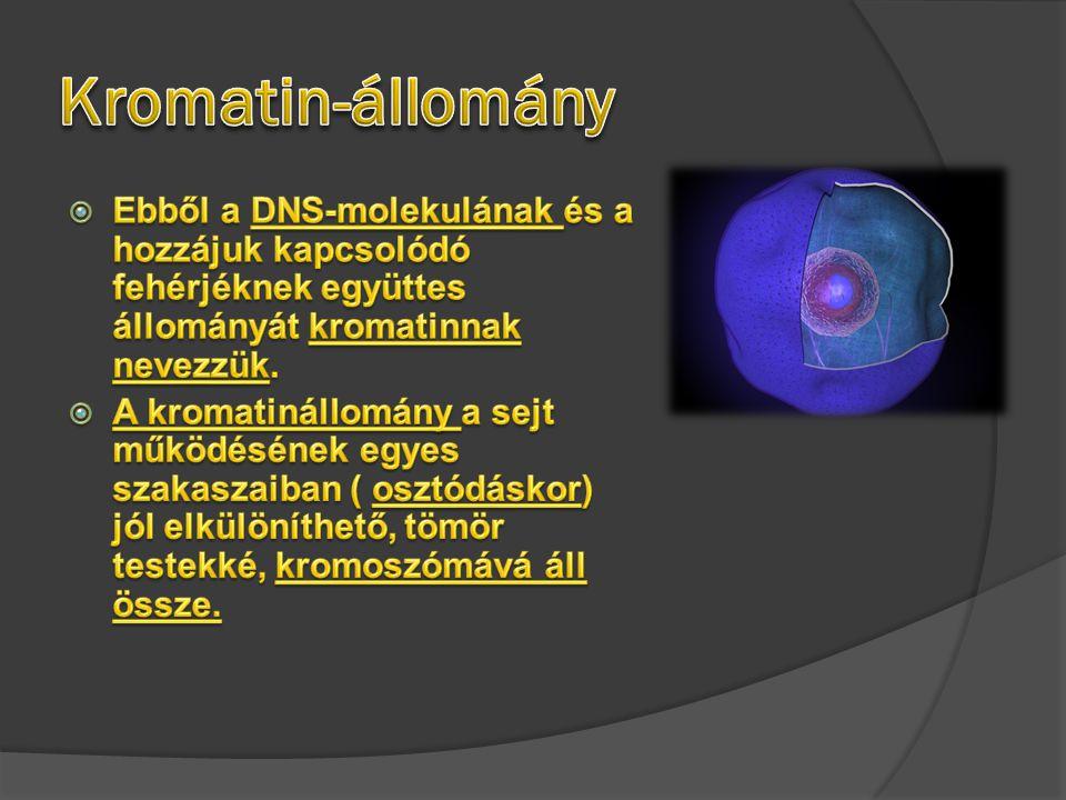 Kromatin-állomány Ebből a DNS-molekulának és a hozzájuk kapcsolódó fehérjéknek együttes állományát kromatinnak nevezzük.