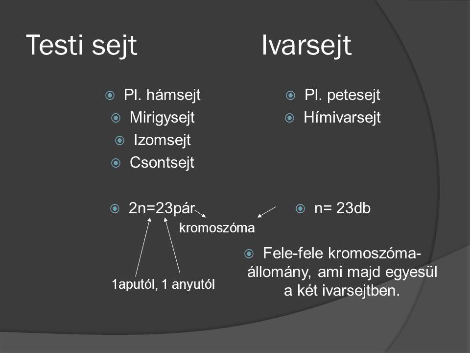 Fele-fele kromoszóma-állomány, ami majd egyesül a két ivarsejtben.