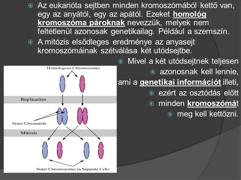 Az eukarióta sejtben minden kromoszómából kettő van, egy az anyától, egy az apától. Ezeket homológ kromoszóma pároknak nevezzük, melyek nem feltétlenül azonosak genetikailag. Például a szemszín.