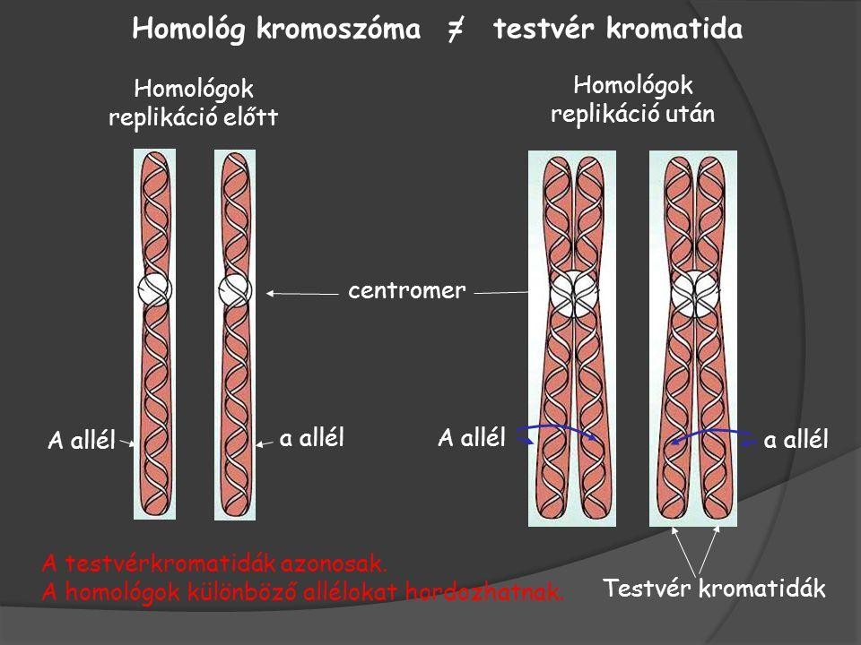 Homológ kromoszóma = testvér kromatida