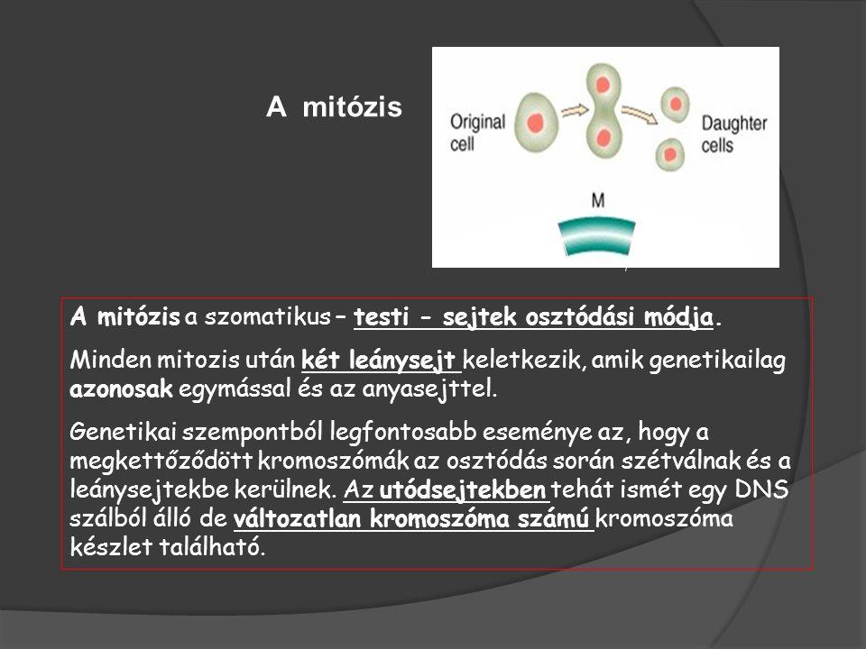 A mitózis A mitózis a szomatikus – testi - sejtek osztódási módja.