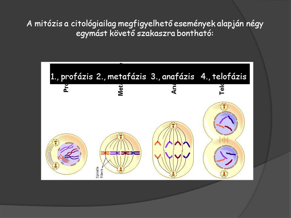 A mitózis a citológiailag megfigyelhető események alapján négy egymást követő szakaszra bontható:
