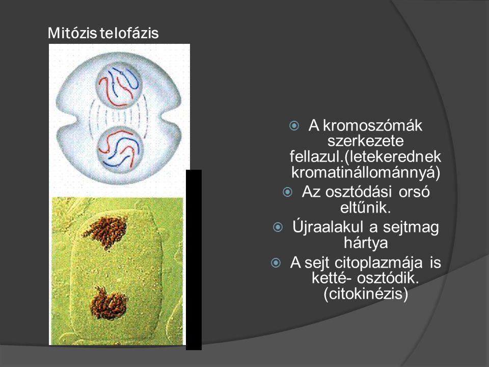 A kromoszómák szerkezete fellazul.(letekerednek kromatinállománnyá)