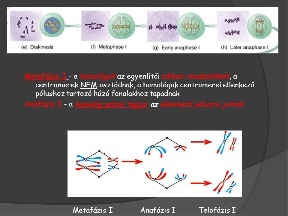Metafázis I - a homológok az egyenlítői síkban rendeződnek, a centromerek NEM osztódnak, a homológok centromerei ellenkező pólushoz tartozó húzó fonalakhoz tapadnak
