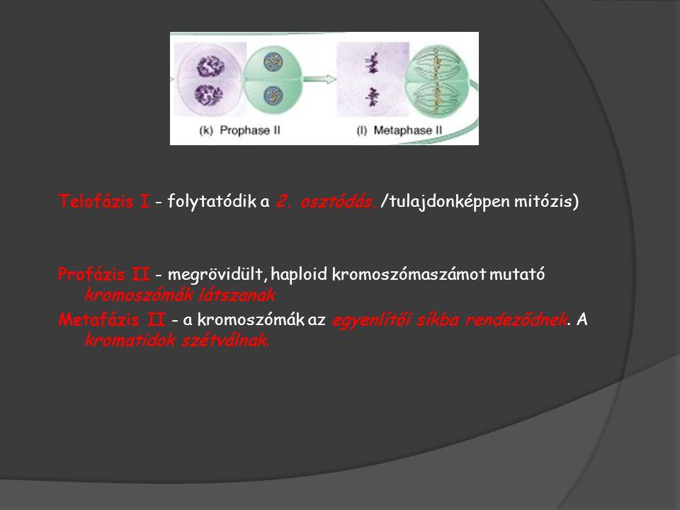 Telofázis I - folytatódik a 2. osztódás, /tulajdonképpen mitózis)