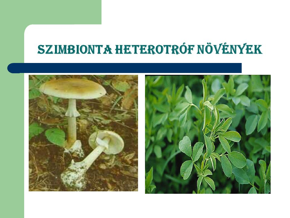 Szimbionta heterotróf növények