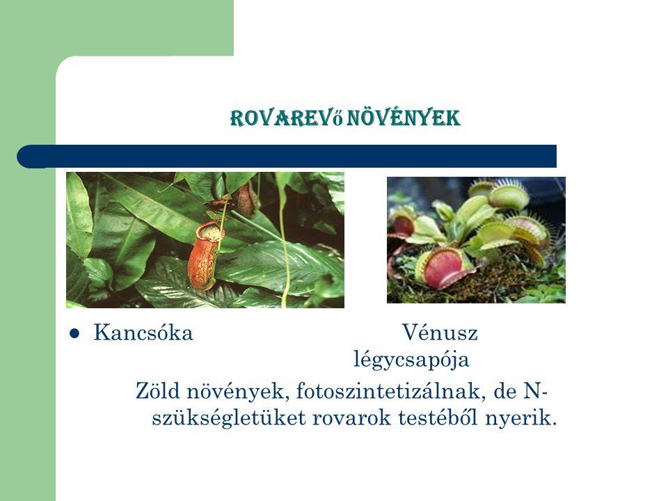 Rovarevő növények Kancsóka Vénusz légycsapója.