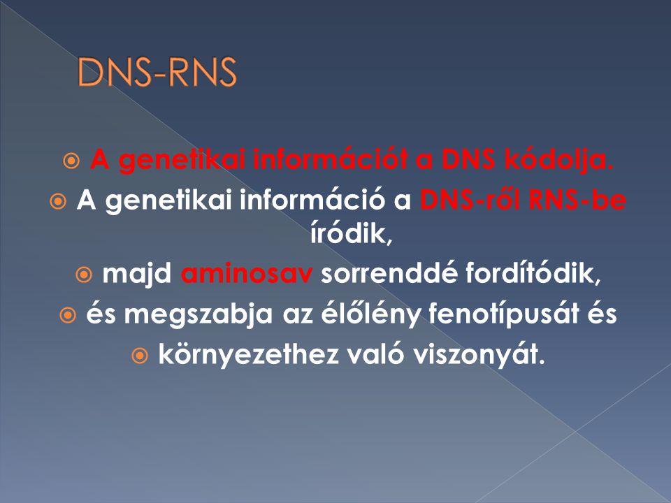 DNS-RNS A genetikai információt a DNS kódolja.