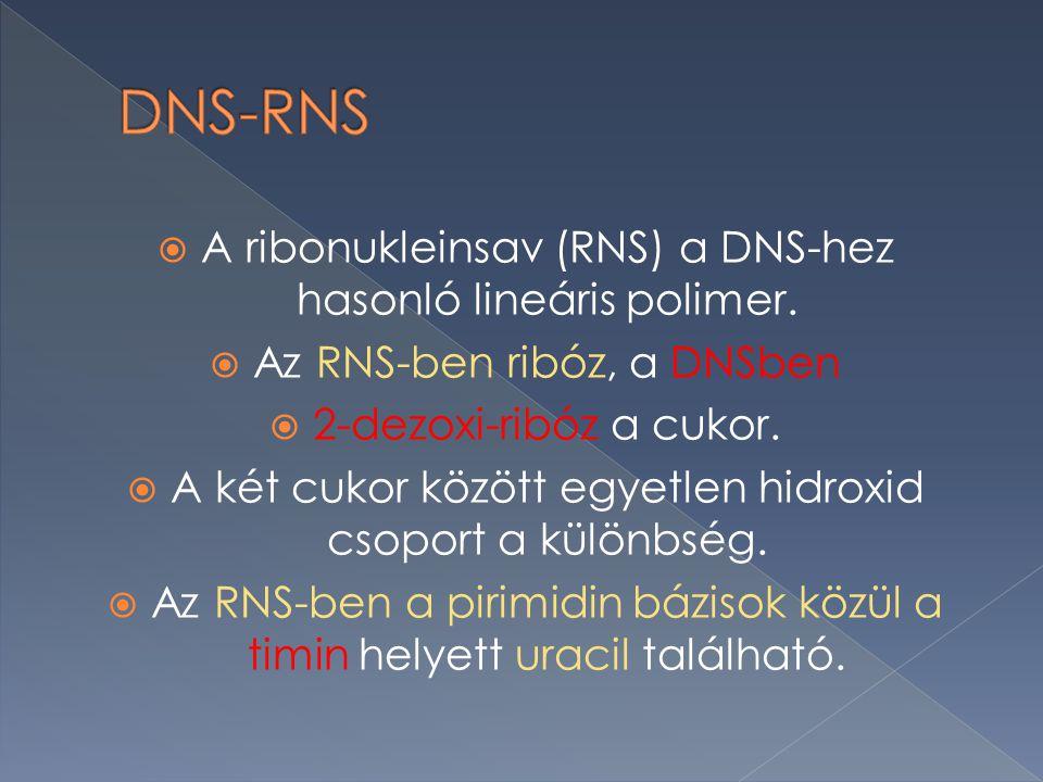 DNS-RNS A ribonukleinsav (RNS) a DNS-hez hasonló lineáris polimer.