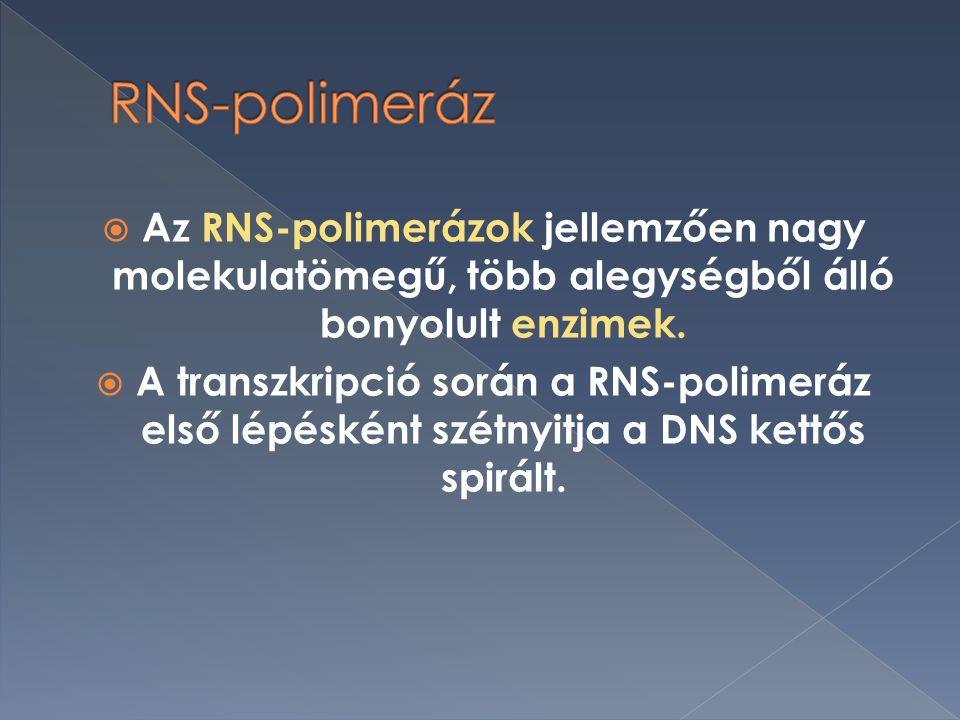 RNS-polimeráz Az RNS-polimerázok jellemzően nagy molekulatömegű, több alegységből álló bonyolult enzimek.