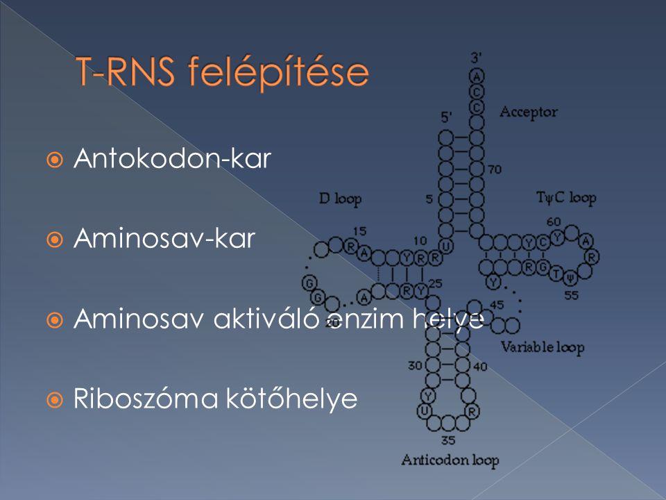 T-RNS felépítése Antokodon-kar Aminosav-kar