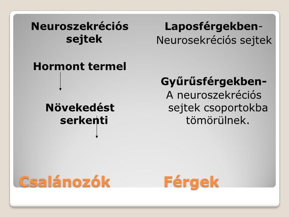 Neuroszekréciós sejtek Hormont termel Növekedést serkenti