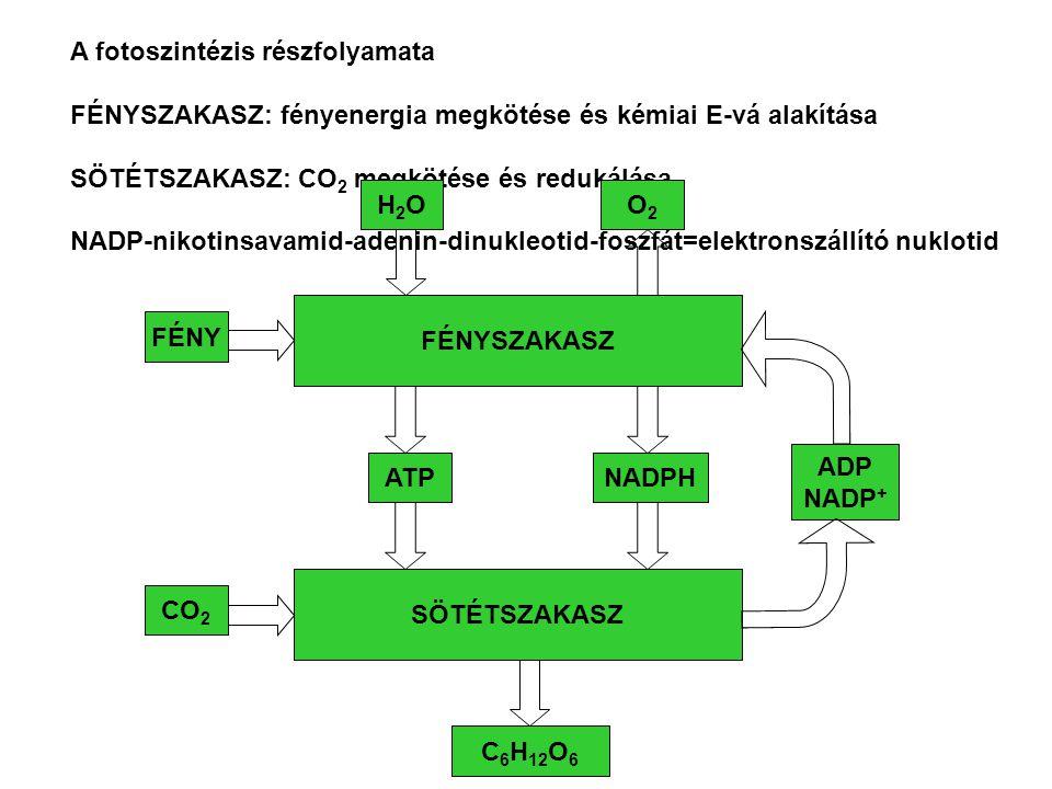 A fotoszintézis részfolyamata