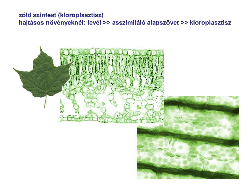 zöld színtest (kloroplasztisz)