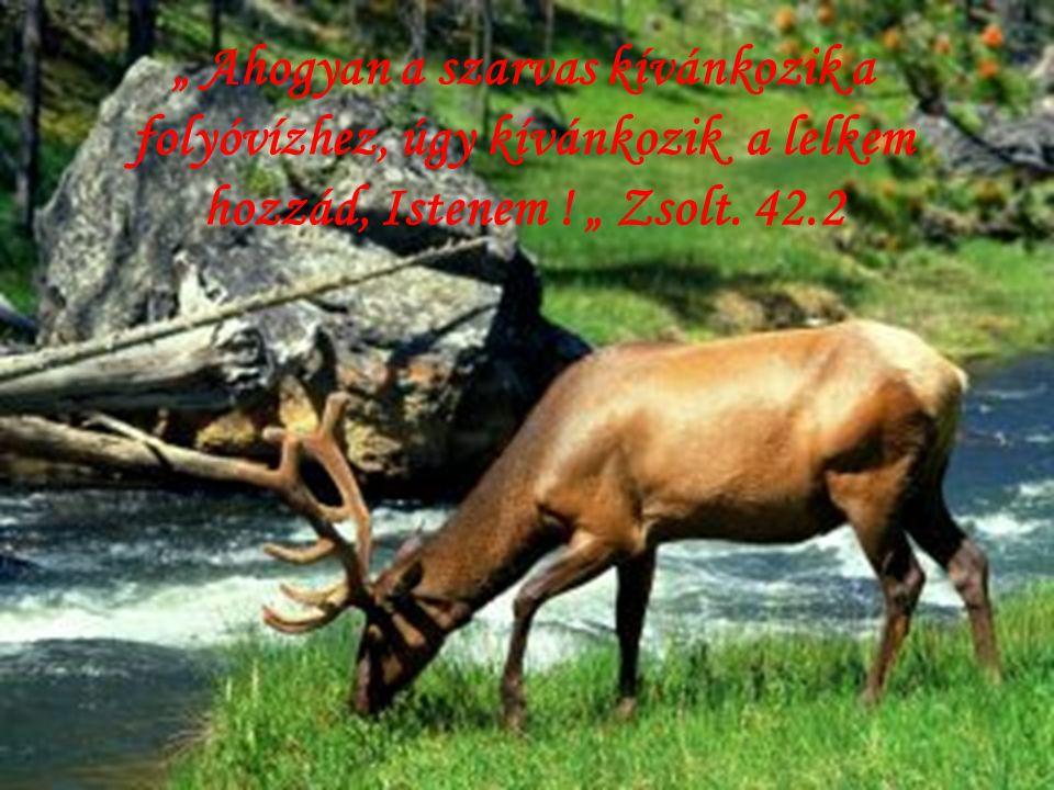 """"""" Ahogyan a szarvas kívánkozik a folyóvízhez, úgy kívánkozik a lelkem hozzád, Istenem ."""