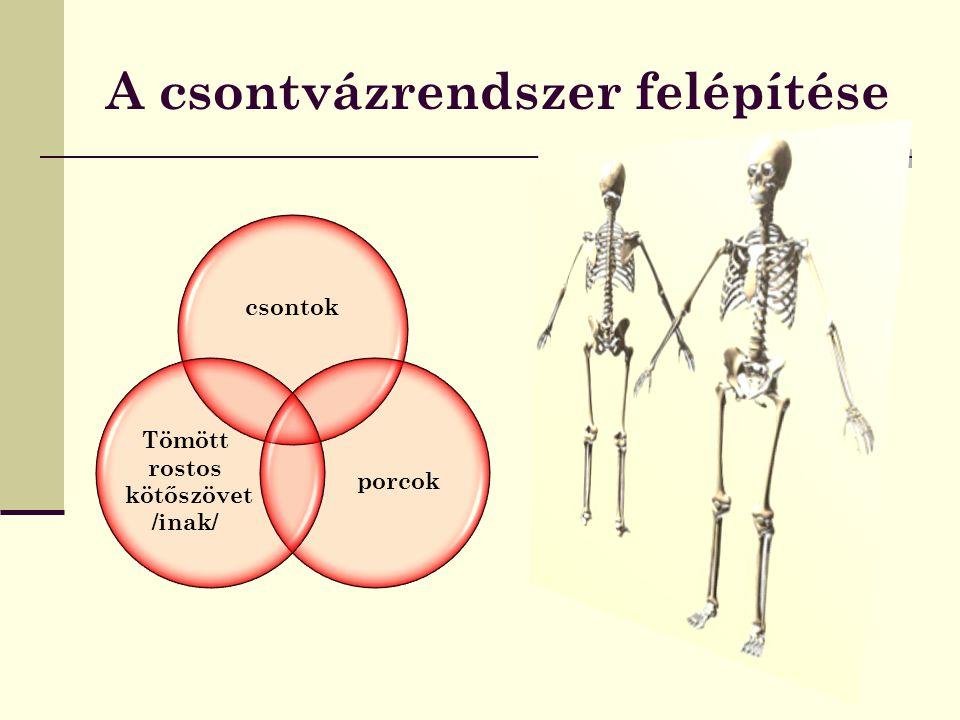 A csontvázrendszer felépítése
