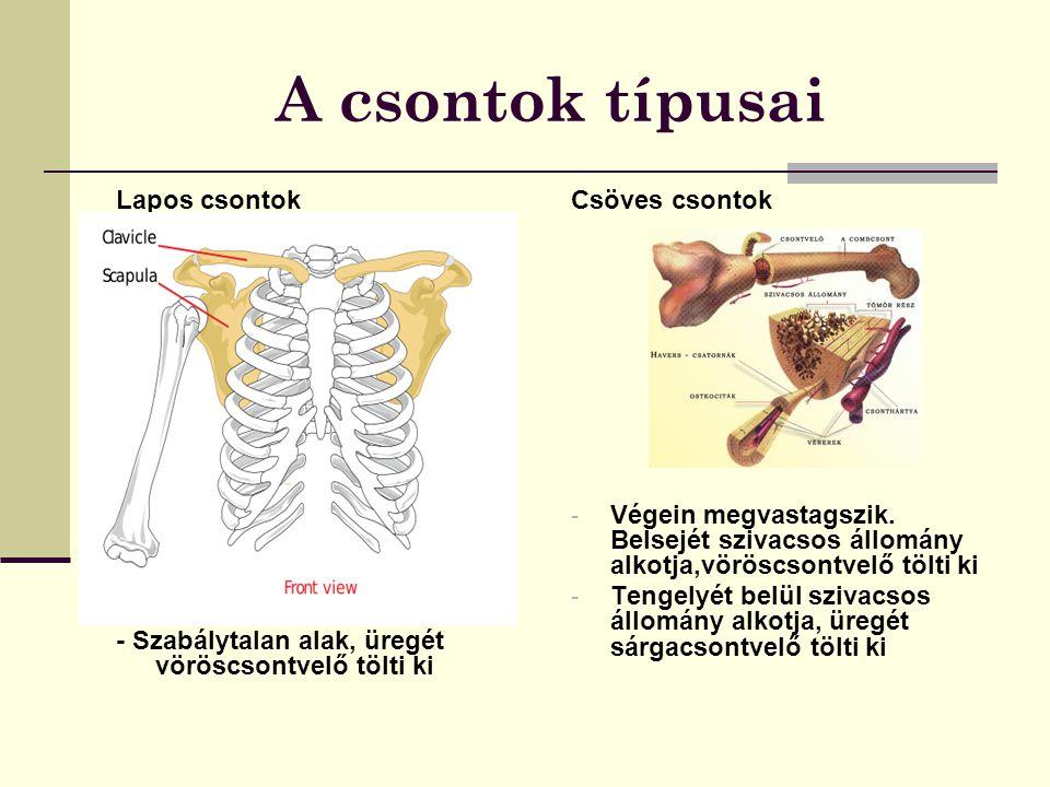 A csontok típusai Lapos csontok