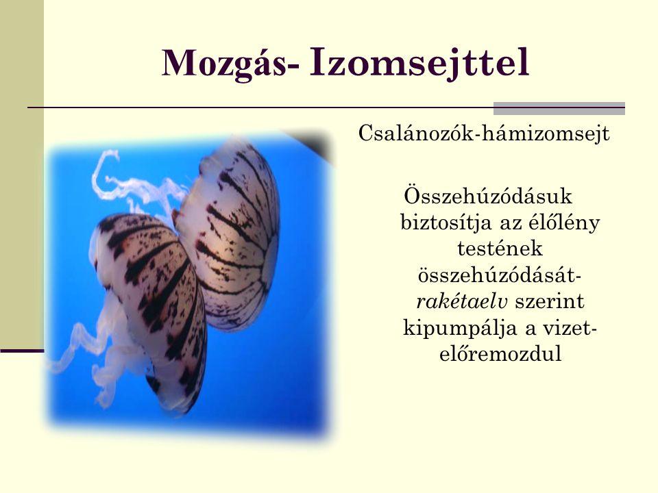 Mozgás- Izomsejttel Csalánozók-hámizomsejt