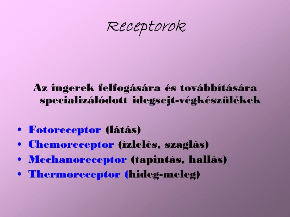 Receptorok Az ingerek felfogására és továbbítására specializálódott idegsejt-végkészülékek. Fotoreceptor (látás)