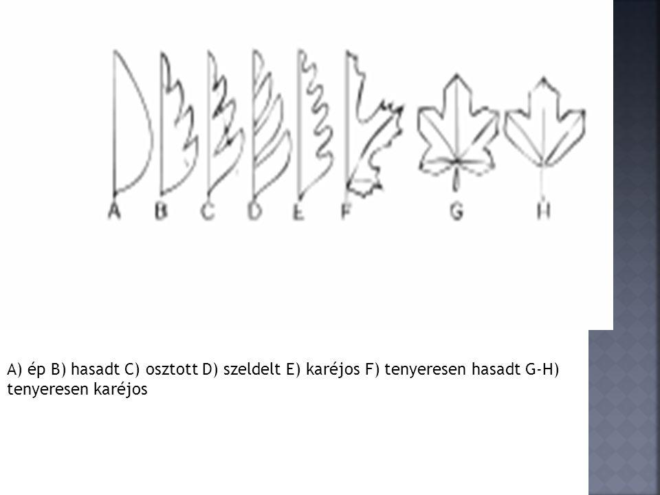 A) ép B) hasadt C) osztott D) szeldelt E) karéjos F) tenyeresen hasadt G-H) tenyeresen karéjos