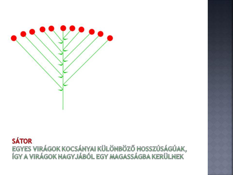 Sátor egyes virágok kocsányai különböző hosszúságúak, így a virágok nagyjából egy magasságba kerülnek