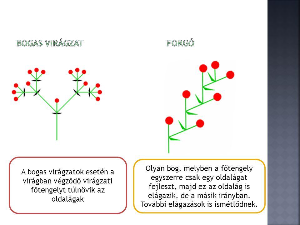 Bogas virágzat Forgó A bogas virágzatok esetén a virágban végződő virágzati főtengelyt túlnövik az oldalágak.