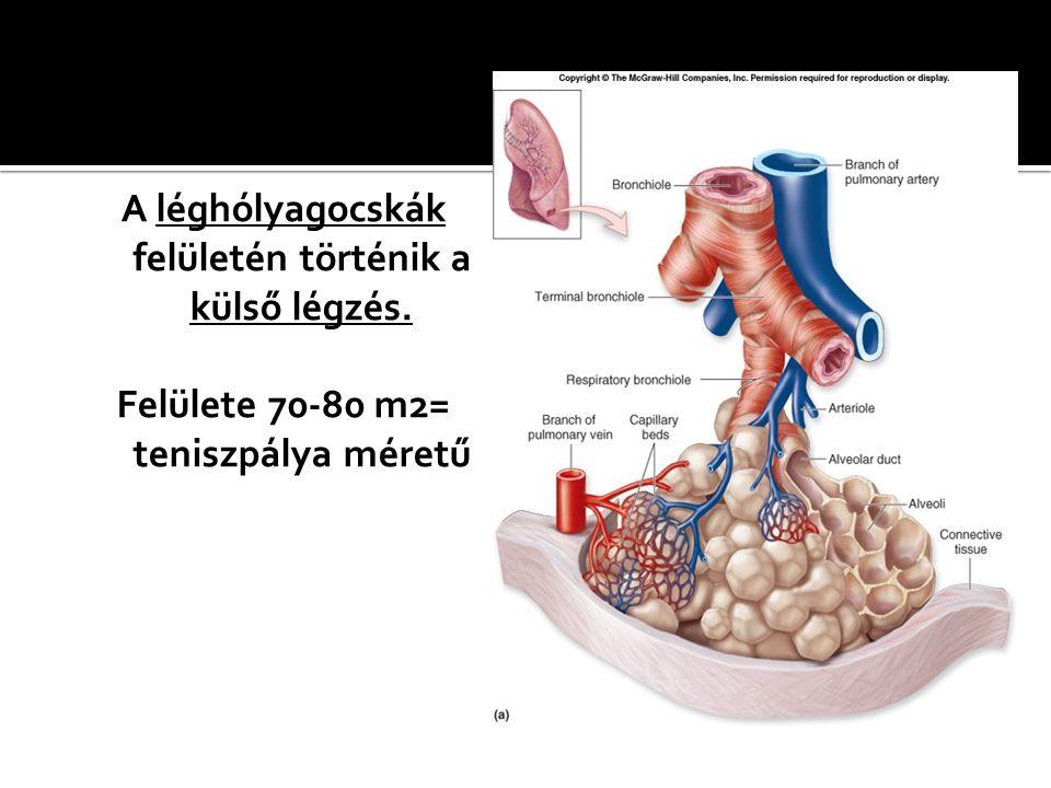 A léghólyagocskák felületén történik a külső légzés.