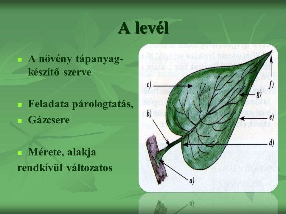 A levél A növény tápanyag-készítő szerve Feladata párologtatás,