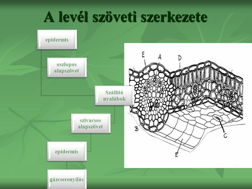 A levél szöveti szerkezete