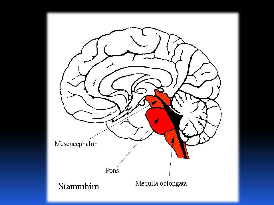 középagy híd agytörzs nyúltagy