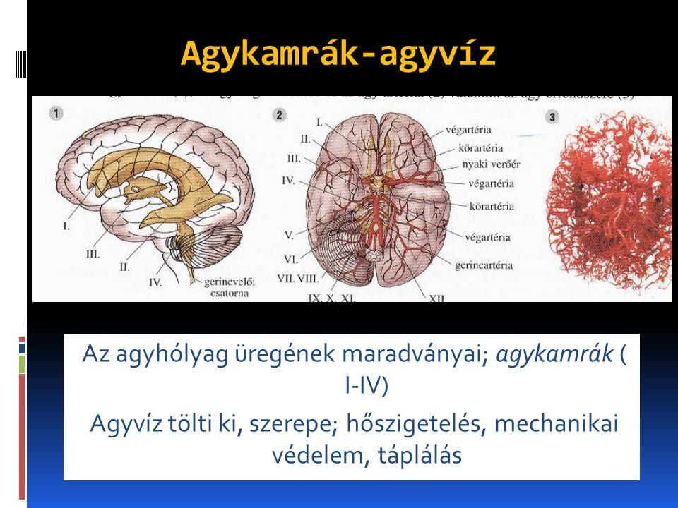 Agykamrák-agyvíz Az agyhólyag üregének maradványai; agykamrák ( I-IV)