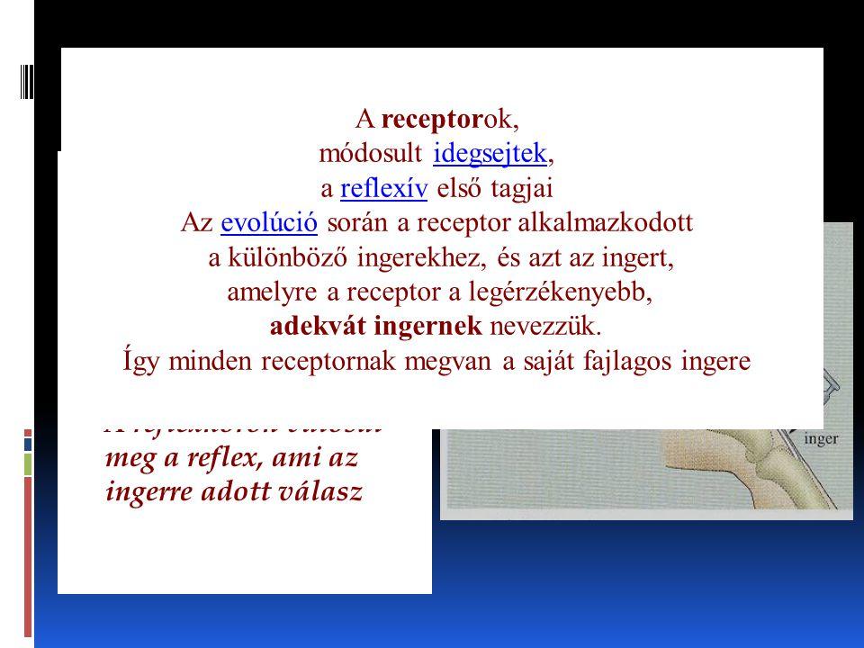 A reflexkör folyamata A receptorok, módosult idegsejtek,