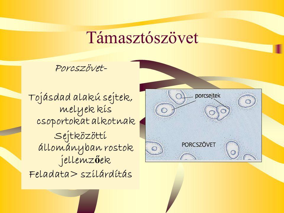 Támasztószövet Porcszövet-