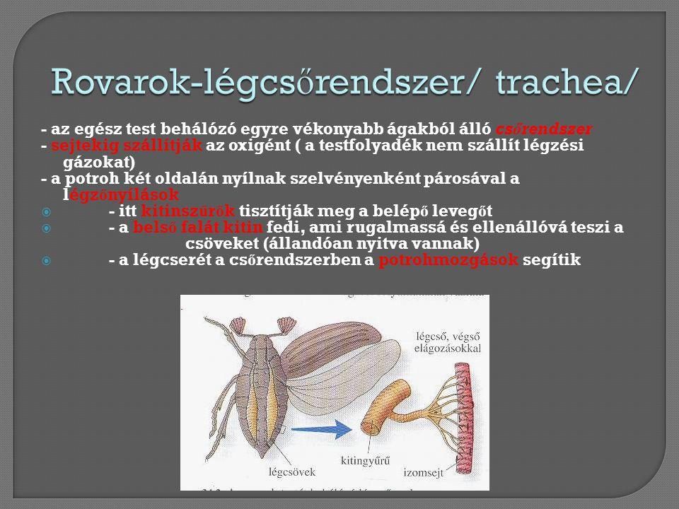 Rovarok-légcsőrendszer/ trachea/
