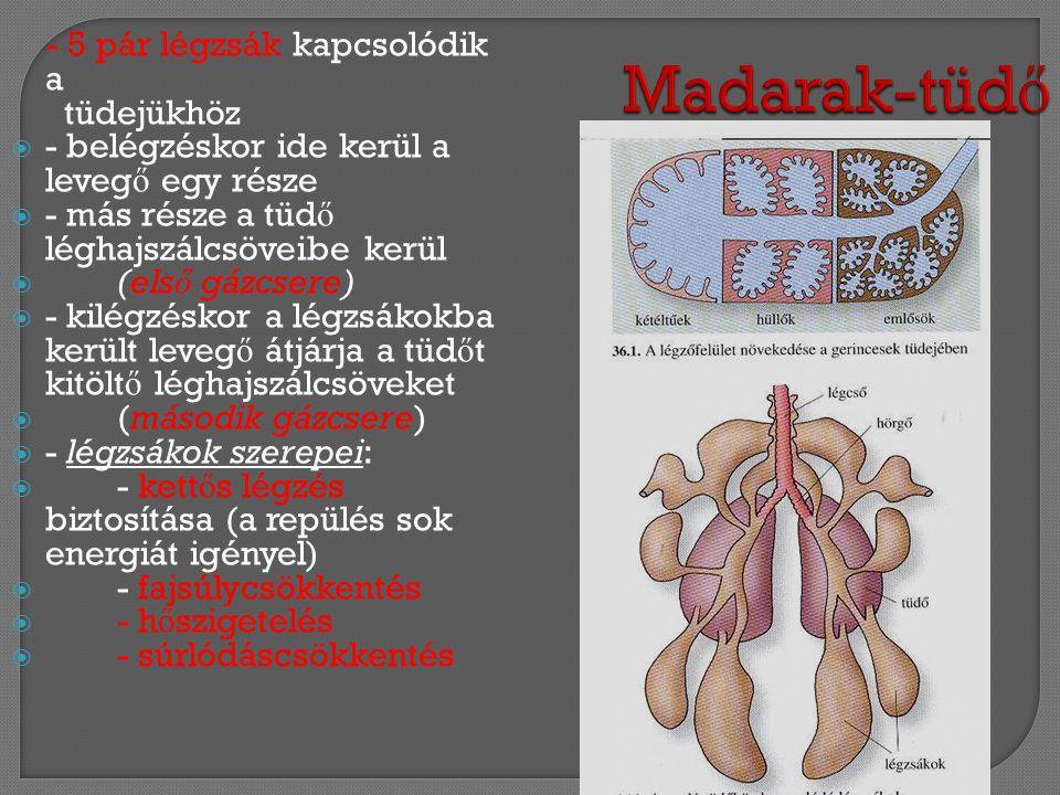 Madarak-tüdő - 5 pár légzsák kapcsolódik a tüdejükhöz