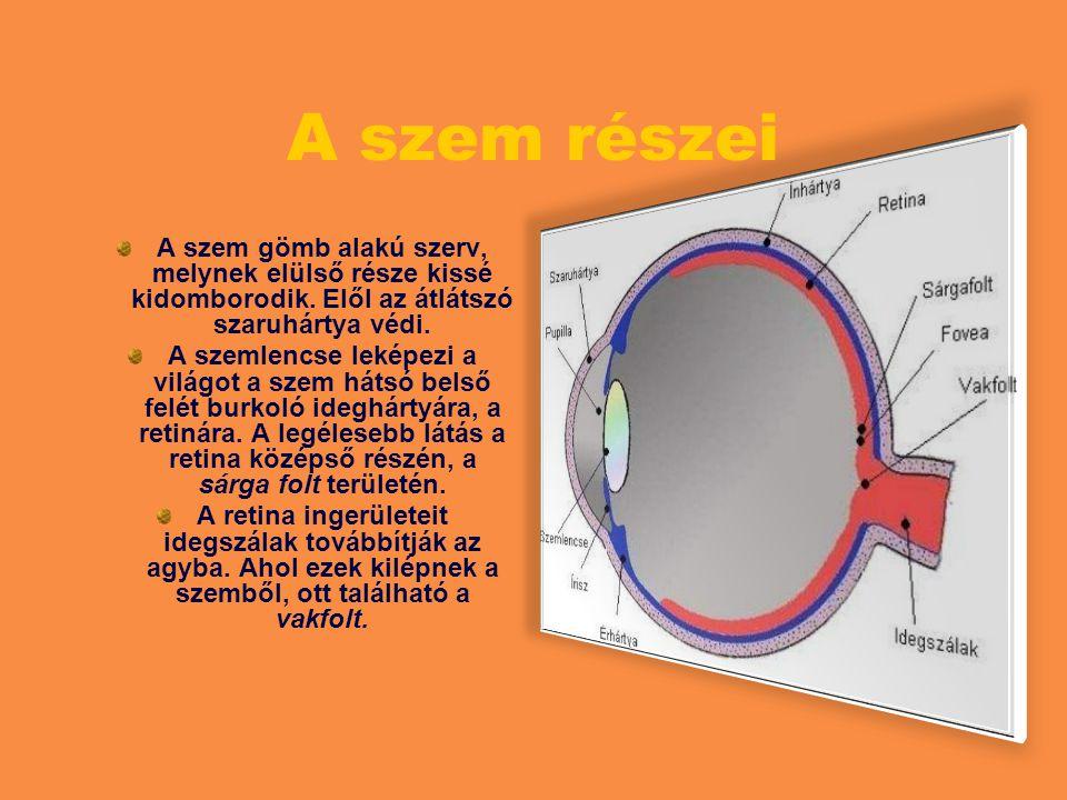A szem részei A szem gömb alakú szerv, melynek elülső része kissé kidomborodik. Elől az átlátszó szaruhártya védi.