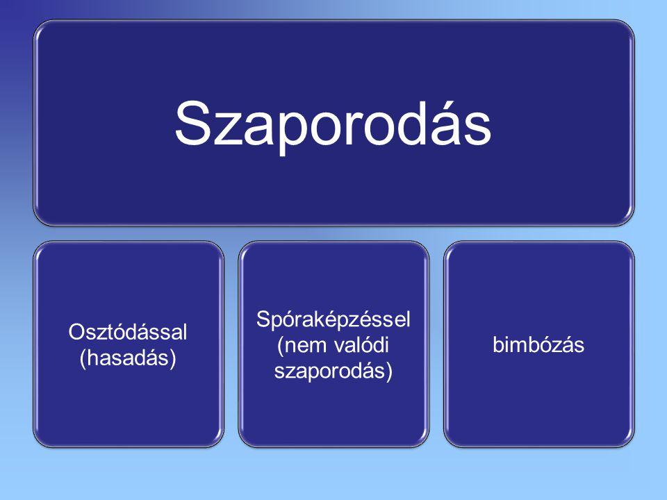 Szaporodás Osztódással (hasadás) Spóraképzéssel szaporodás) (nem valódi bimbózás