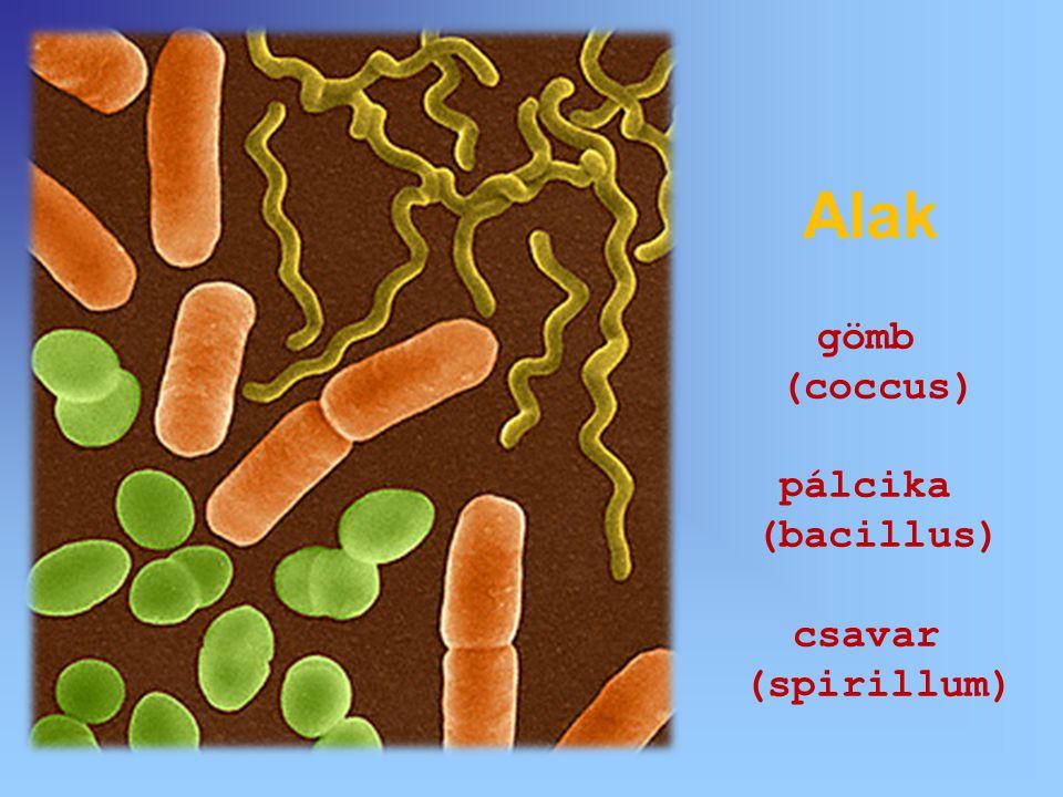 Alak gömb (coccus) pálcika (bacillus) csavar (spirillum)