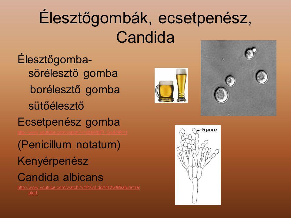 Élesztőgombák, ecsetpenész, Candida
