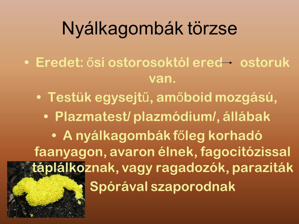 Nyálkagombák törzse Eredet: ősi ostorosoktól ered ostoruk van.
