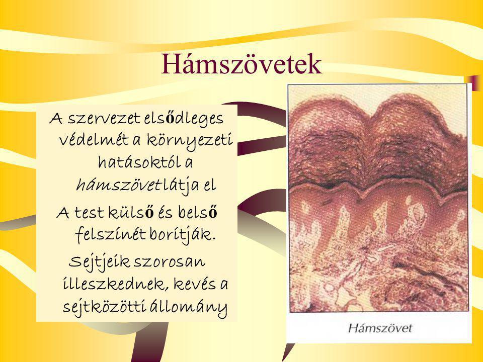 Hámszövetek A szervezet elsődleges védelmét a környezeti hatásoktól a hámszövet látja el. A test külső és belső felszínét borítják.