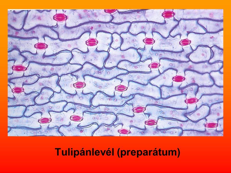 Tulipánlevél (preparátum)