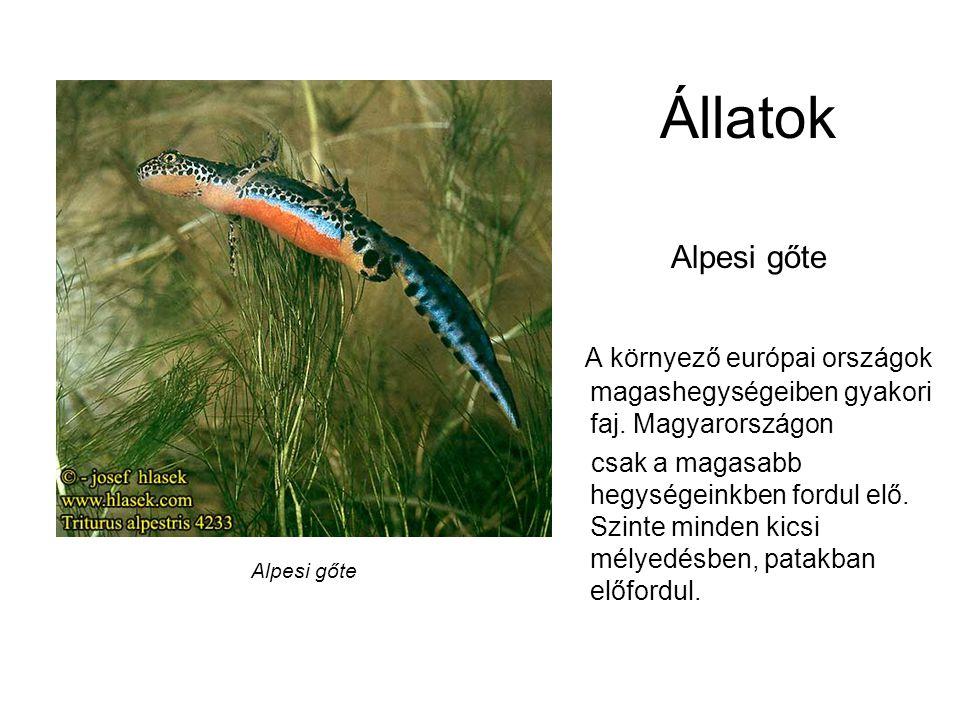 Állatok Alpesi gőte. A környező európai országok magashegységeiben gyakori faj. Magyarországon