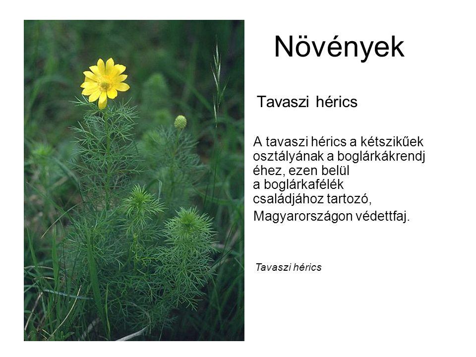 Növények Tavaszi hérics